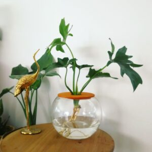 15cm Fishbowl with Philodendron Selloum