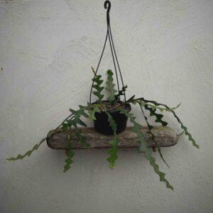 Epiphyllum anguliger fishbone cactus The Plant Space